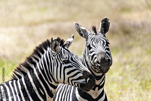 In de dag Zebra Two Zebras