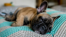 French Bulldog Sleeping Pillow...