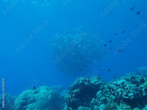 Obraz na dibondzie (fotoboard) Szkoła ryby w Sabah, Malezja
