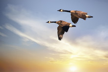 Canada Geese On The Wing