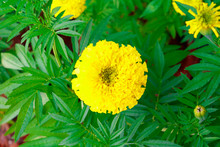Marigold Flower Yellow On The Tree In Garden Beautiful Background With Copy Space Add Text  (Calendula Flowers) High Definition Image