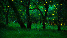 Firefly Flying In The Forest.....