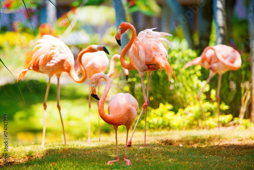 Photo The pink Caribbean flamingo goes on water