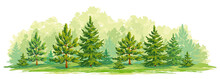 Young Forest Of Pine And Fir Trees- Vector Graphic