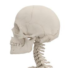 Female Human Skull On White. 3D Illustration