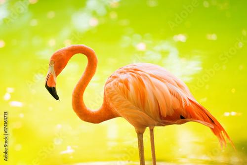 Fotografie, Obraz  The pink Caribbean flamingo goes on water