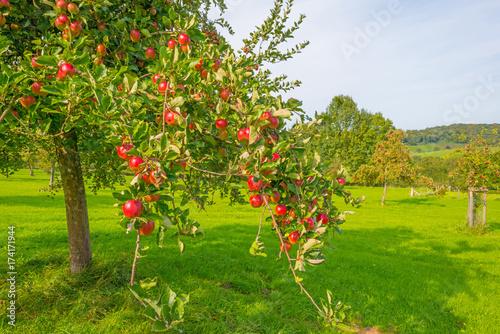 Naklejka premium Drzewa owocowe w sadzie w słońcu jesienią