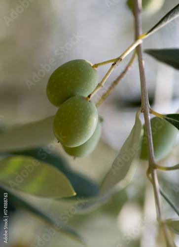 Wall Murals Immature olives, macro image