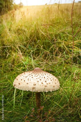 Fotografie, Obraz  The Parasol Mushroom (Macrolepiota Procera)