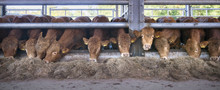 Row Of Young Limousin Bulls Fe...