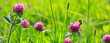 Leinwandbild Motiv Bee on clover flowers field.