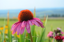 One Pink Coneflower In A Color...