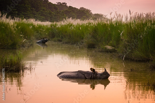 Tuinposter Neushoorn Indian one horned rhinoceros bathing in a river at dawn, in Chitwan National Park, Nepal
