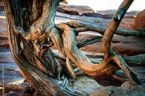 Fotografie, Obraz  Twisted Tree in Garden of the Gods