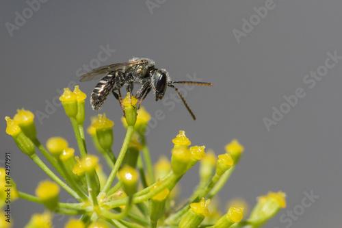 Photo Halictid bee - Lasioglossum discum
