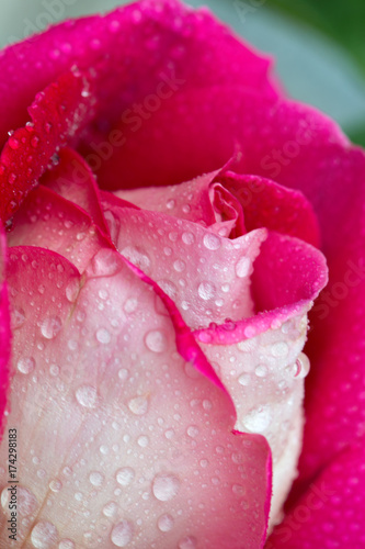 Pink rose closeup with water drops. #174298183