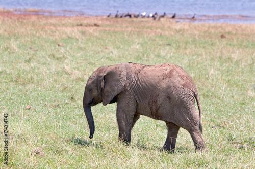 Foto op Aluminium Hyena Cute Young elephant standing on the lush plains in Matusadona , zimbabwe