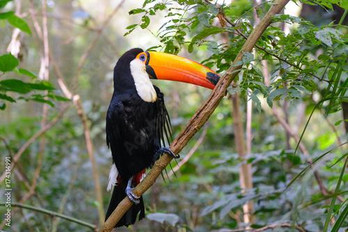 Obraz na płótnie Kolorowy tukan w wolierze