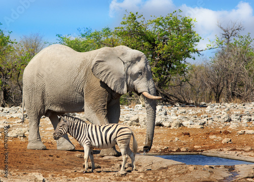 Large African elephant standing next to a brutal zebra in Etosha, with a cloudy Canvas Print
