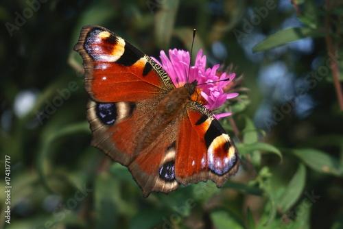 Plakat motyl peacock na fioletowe kwiaty