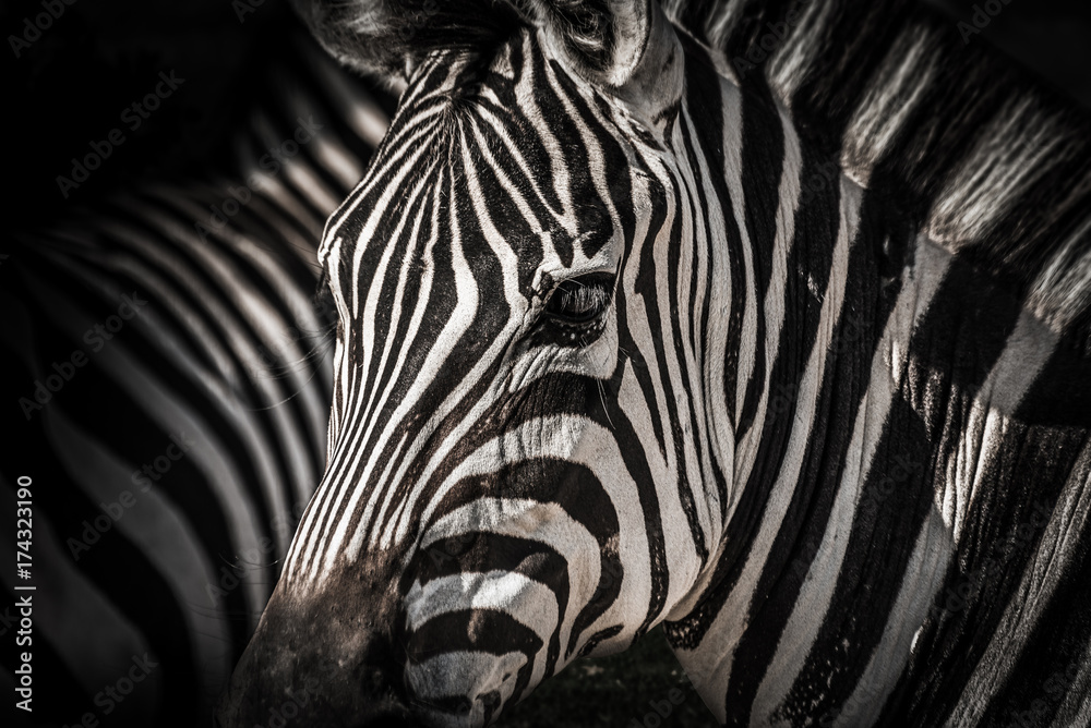 Fototapety, obrazy: High contrasty zebra portait