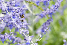 Side Angle View Of Bee Collecting Pollen From Russian Sage Flowers Or Perovskia Atriplicifolia