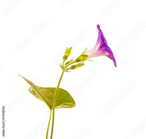 Fotografie, Tablou  flower of morning glory, Pharbitis with leaves on white isolated background