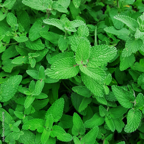 Photo  Green pepper mint leaves in garden background