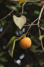 Persimmon On The Plant In Autu...