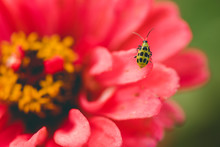 Cucumber Beetle On A Zinnia
