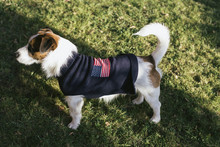 Cute Jack Russell With USA Coat