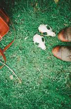 Raccoon Skulls On The Grass.