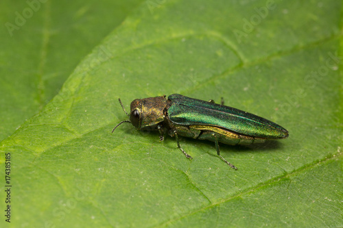 Closeup of an Emerald Ash Borer