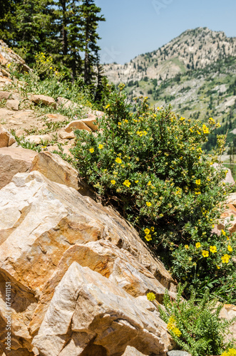 Fotografia, Obraz  Yellow Flowered Potentilla Growing Between Large Rocks on a Mountain in Utah