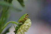 花の上のアマガエル A ...