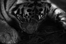 Sleeping Flat Tiger