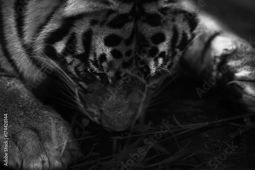 Stampa su Tela  sleeping flat tiger