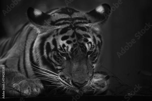 Stampe  tiger cute
