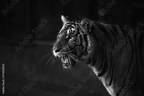 tygrys-intymne-spojrzenie