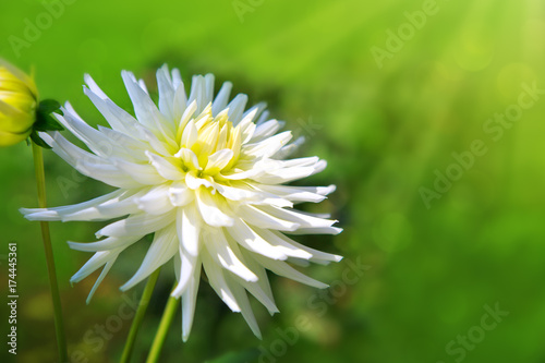 White dahlia isolated on blur green background.