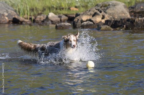Garden Poster Hyena Two australian shepherd dogs running in the water of a lake