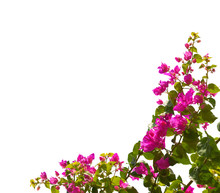 Blooming Bougainvillea Isolate...