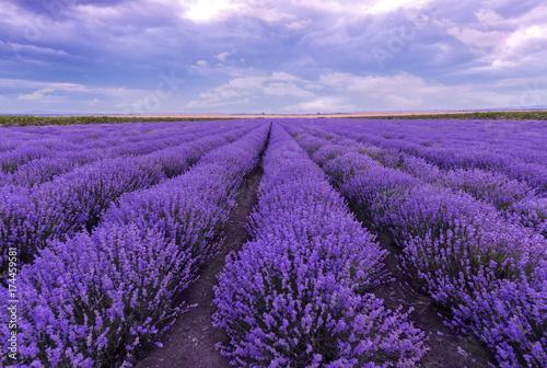 Fototapeta Sunset at lavender field. Rows of blooming lavender. obraz na płótnie