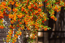 Hedge With Orange Berries (Pyr...