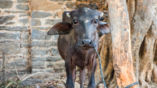 Water Buffalo Calf - Buy this stock photo and explore