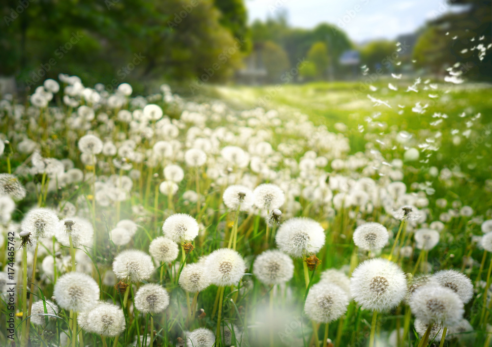 Fototapety, obrazy: Lot of dandelions close-up on nature in spring against backdrop of summer lawn field and blue sky. The wind blows away seeds of dandelions on nature.