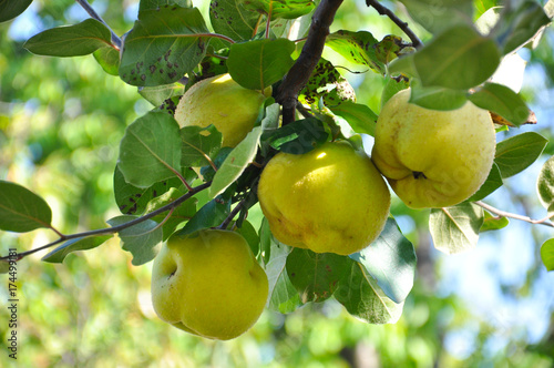 Photographie Quince on branch