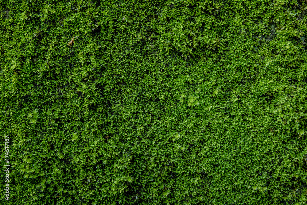 Fototapety, obrazy: Moss green on the wall surface. Space for text on right