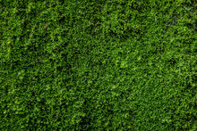 Moss Green On The Wall Surface...