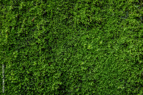 Fotografia, Obraz Moss green on the wall surface. Space for text on right